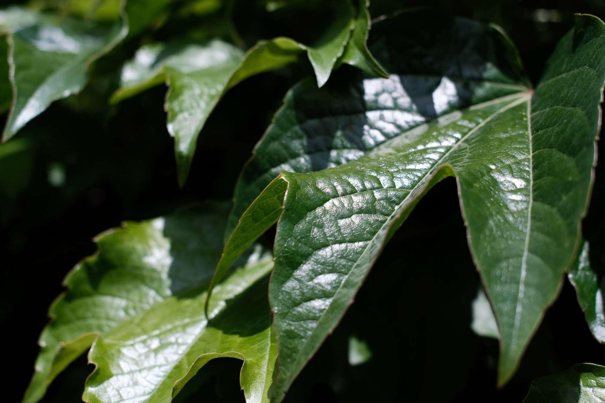 Leaves captured on camera using TTArtisan's APS-C 35mm F1.4 lens