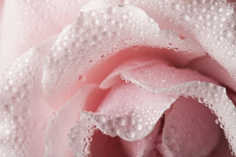 Water droplets on pink rose petals