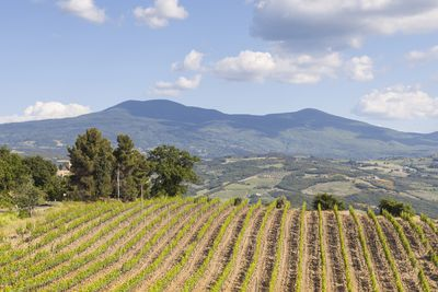 A vineyard near Montalcino, Italy.