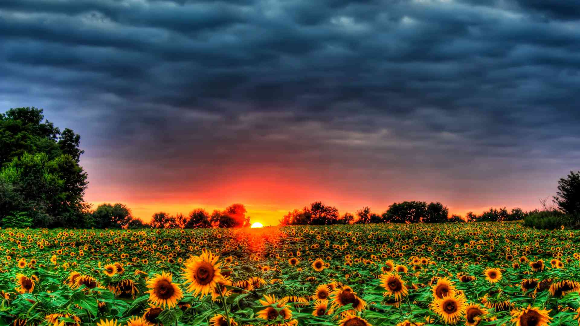 Field of Sunflowers by DesktopNexus