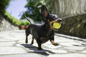 Picture of a dachshund with a tennis ball in its mouth