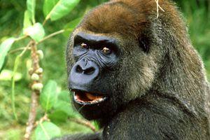 A surprised gorilla