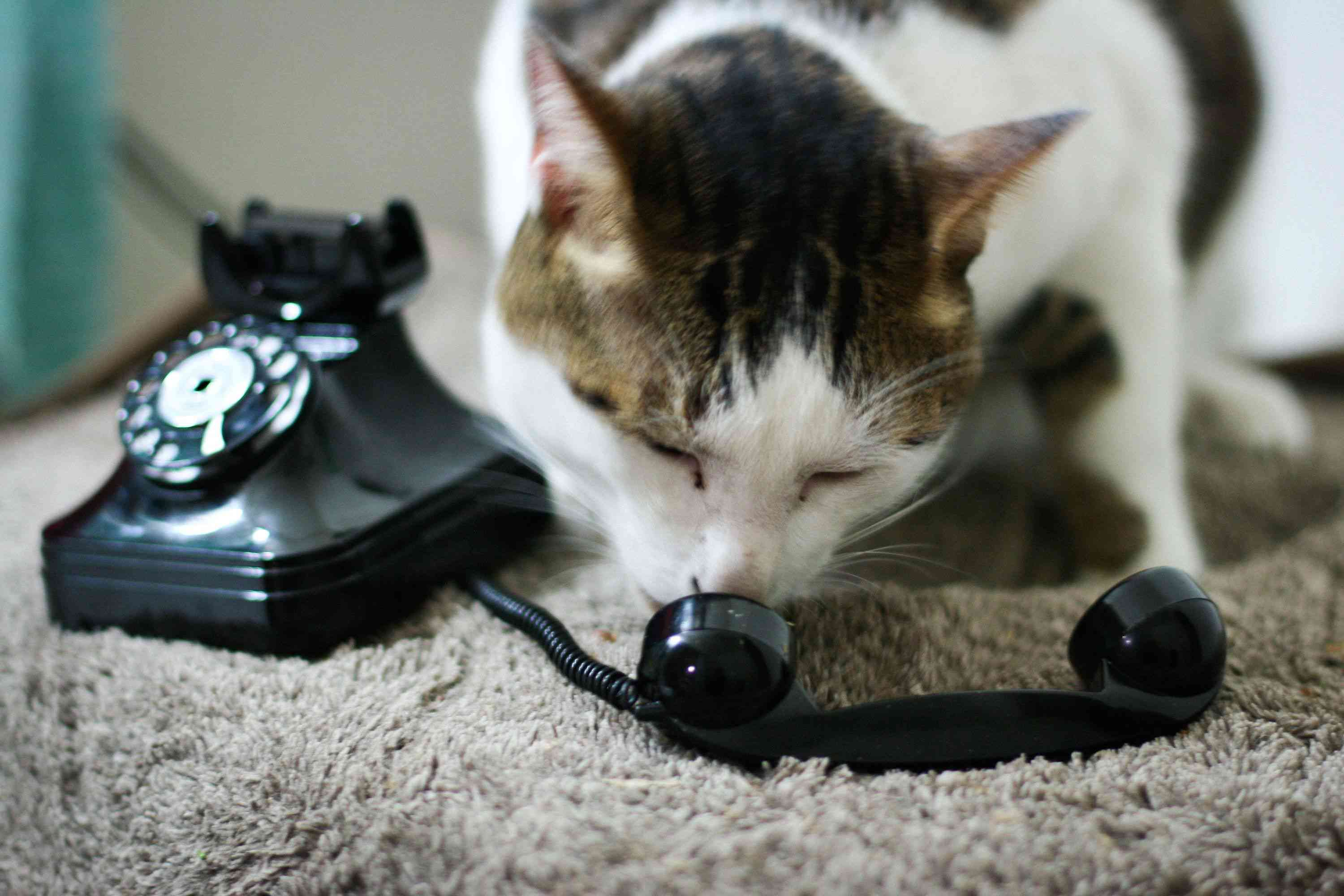 Photo of Cat Talking in Old Telephone
