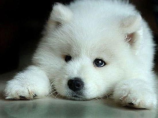 White fuzzy puppy looking adorable