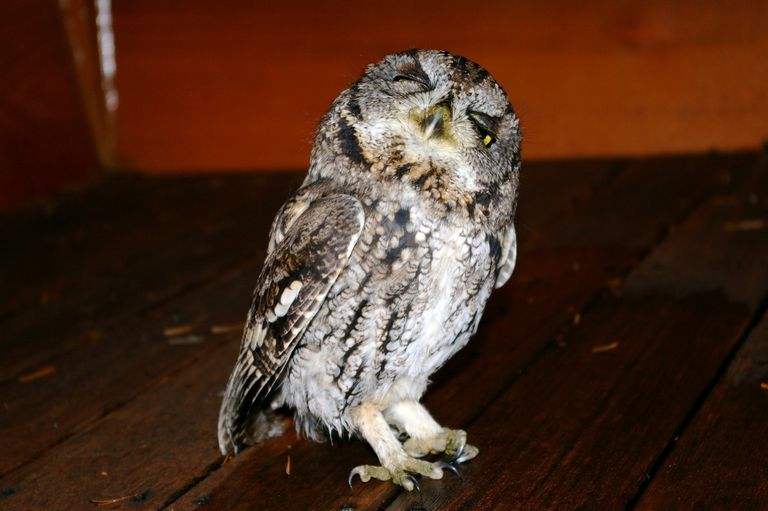An owl who may or may not be hungover