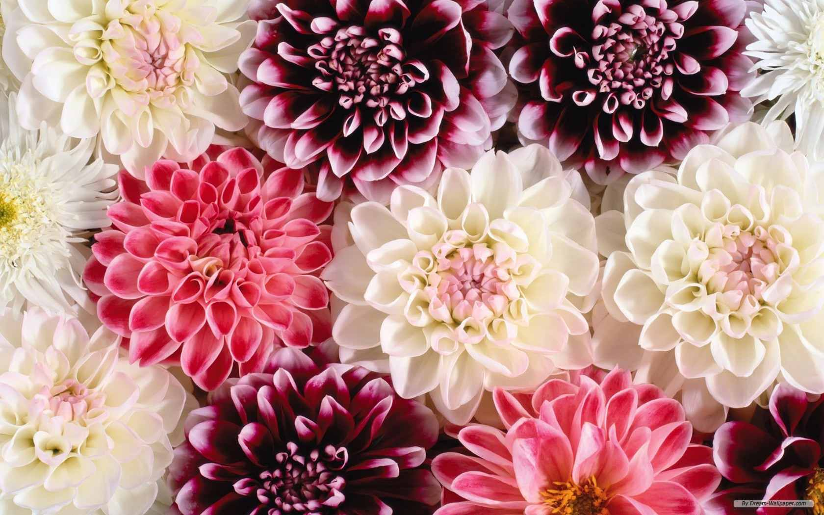 22 beautiful flower wallpapers colorful flowers by dream wallpaper mightylinksfo