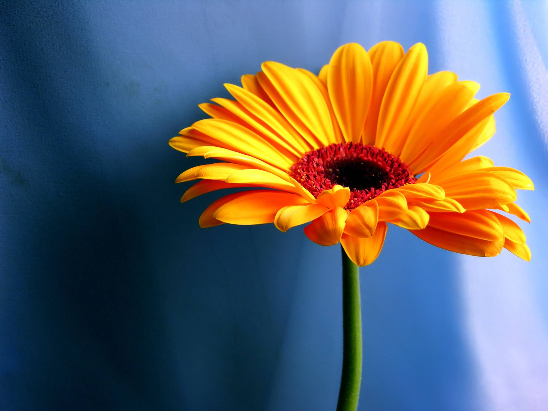 An Orange Flower With A Blue Background