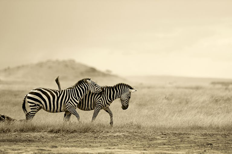 Two zebras running wild, Amboseli National Park, Kajiado County, Kenya