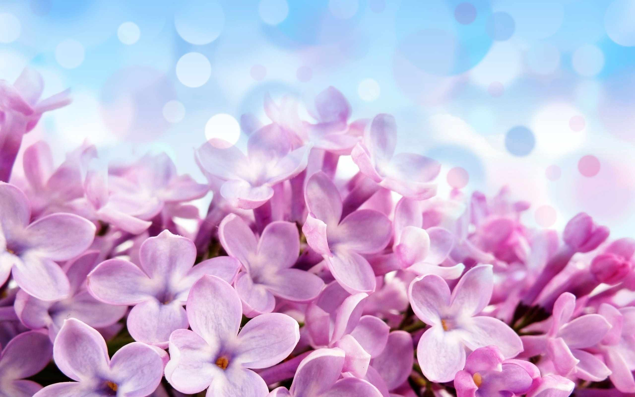 Purple Lilac Flowers With A Blue Background HD Wallpapers