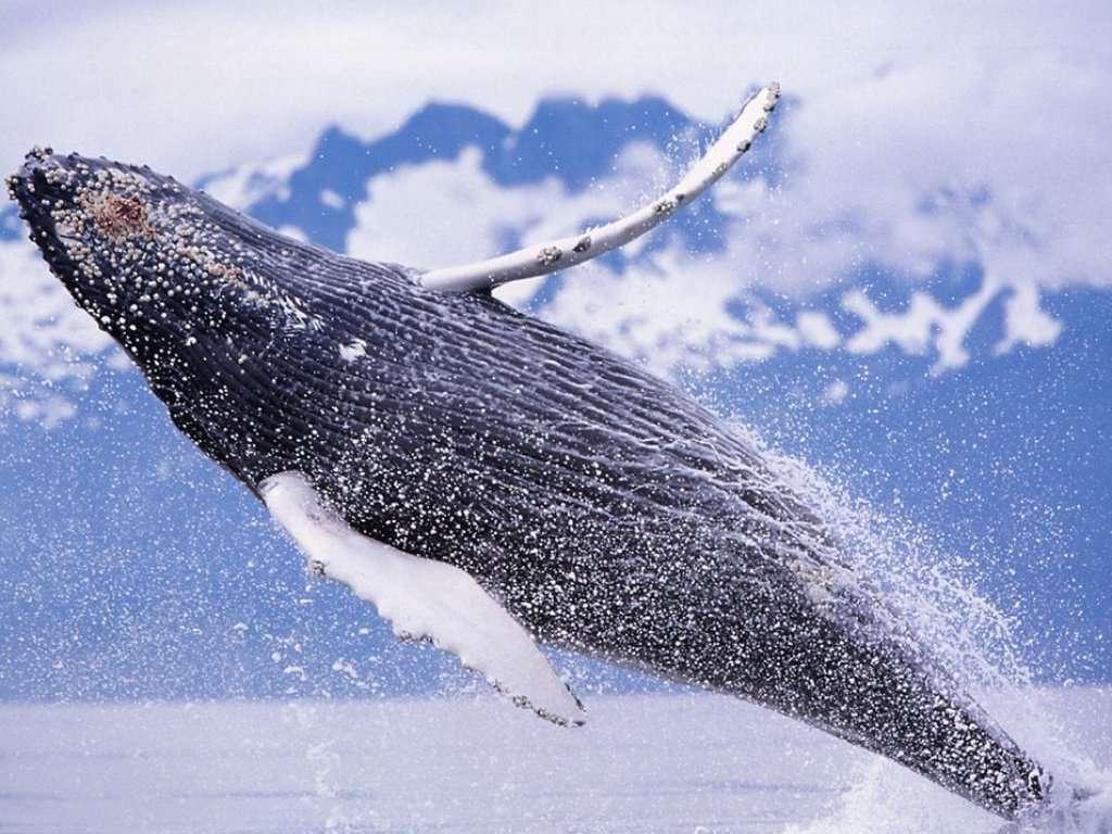 Humpback whale rising from ocean in this free ocean wallpaper