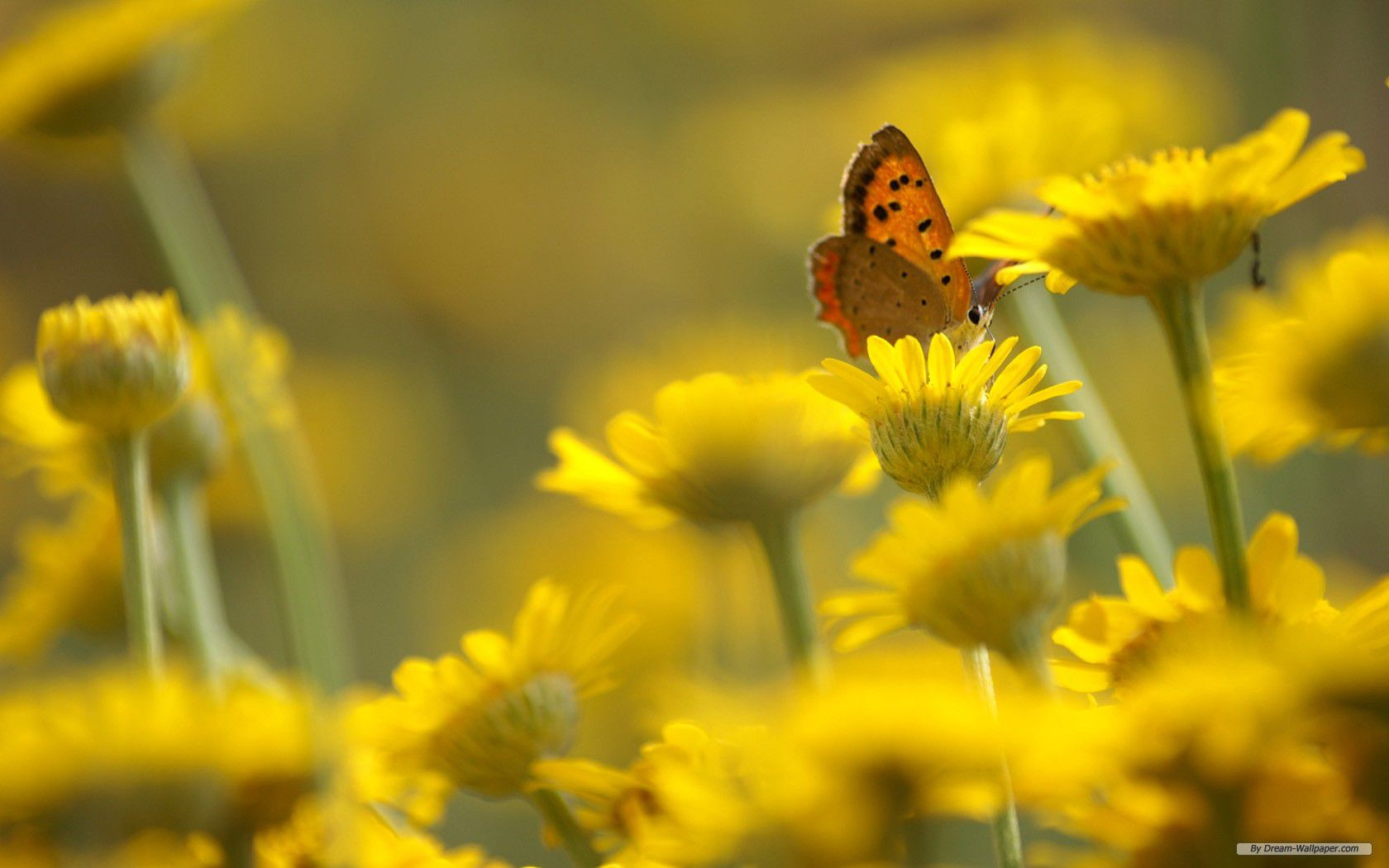 22 beautiful flower wallpapers a butterfly in a group of yellow flowers mightylinksfo