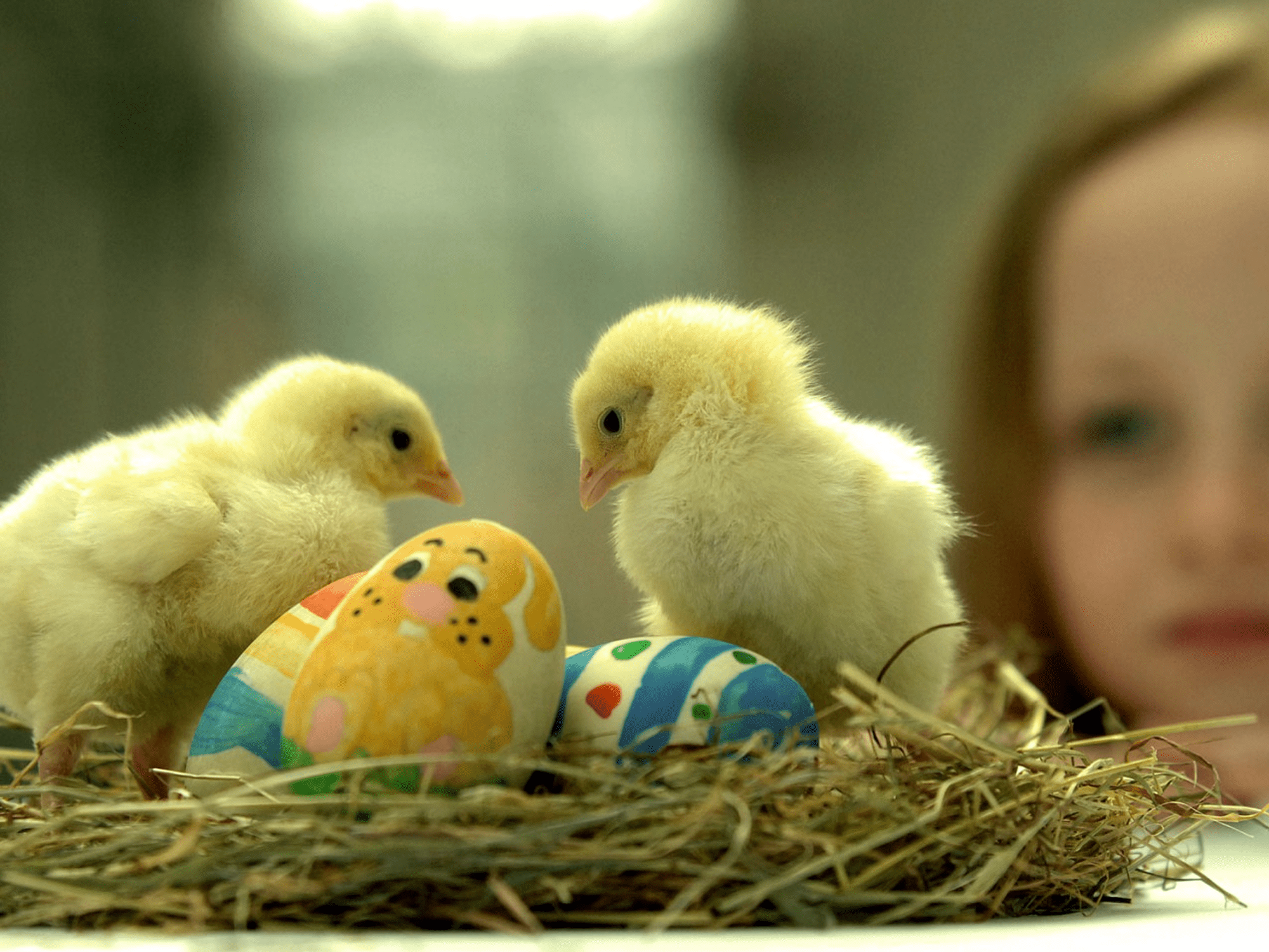 Free Easter wallpaper featuring young girl watching two baby chicks sit with Easter eggs