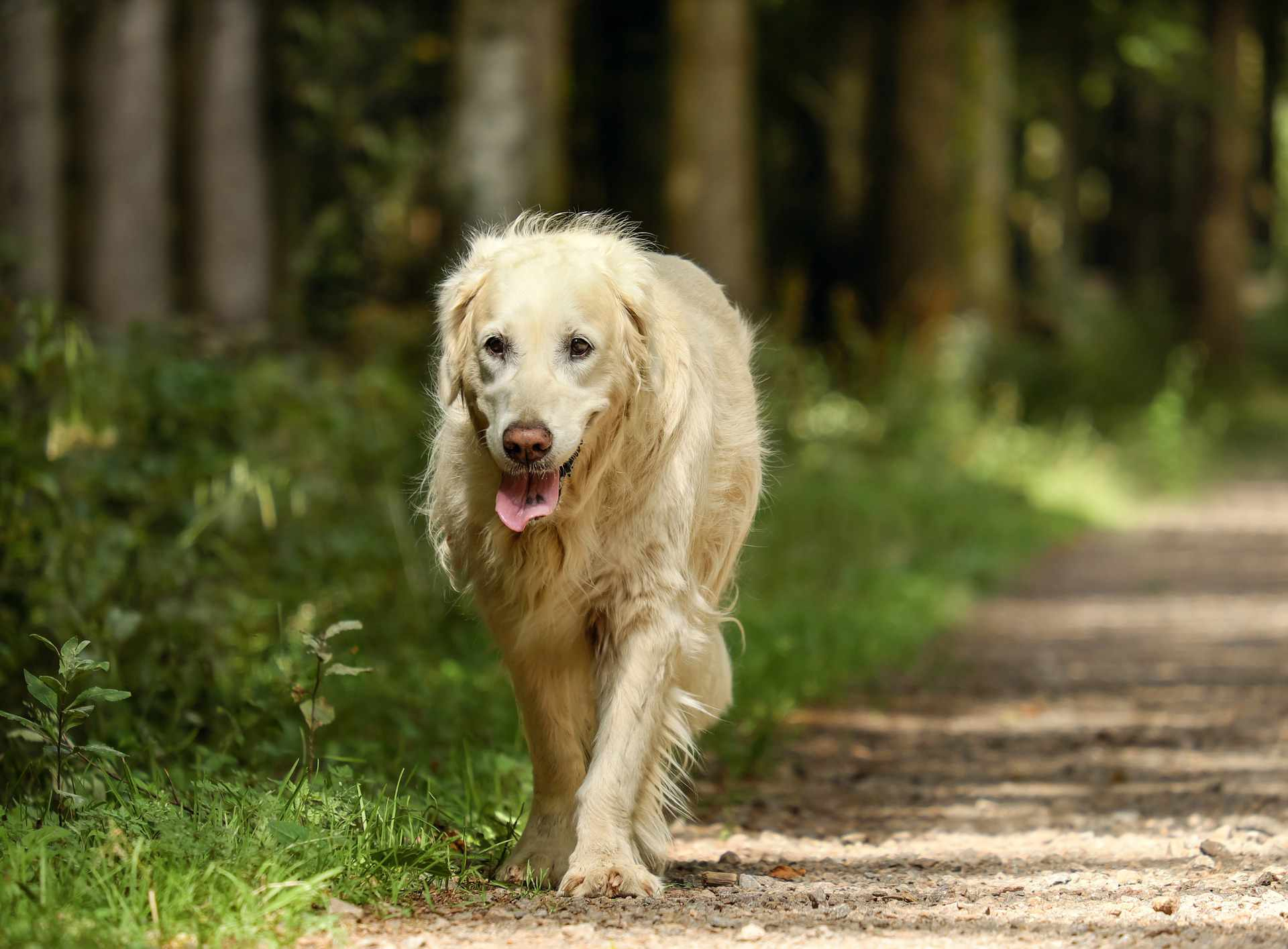 A dog walking by grass.