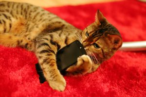 Close-Up Of Cat Holding Mobile Phone