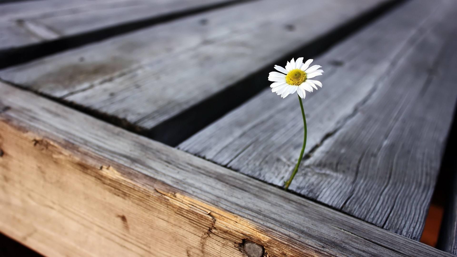 A single daisy growing through a wooden walkway