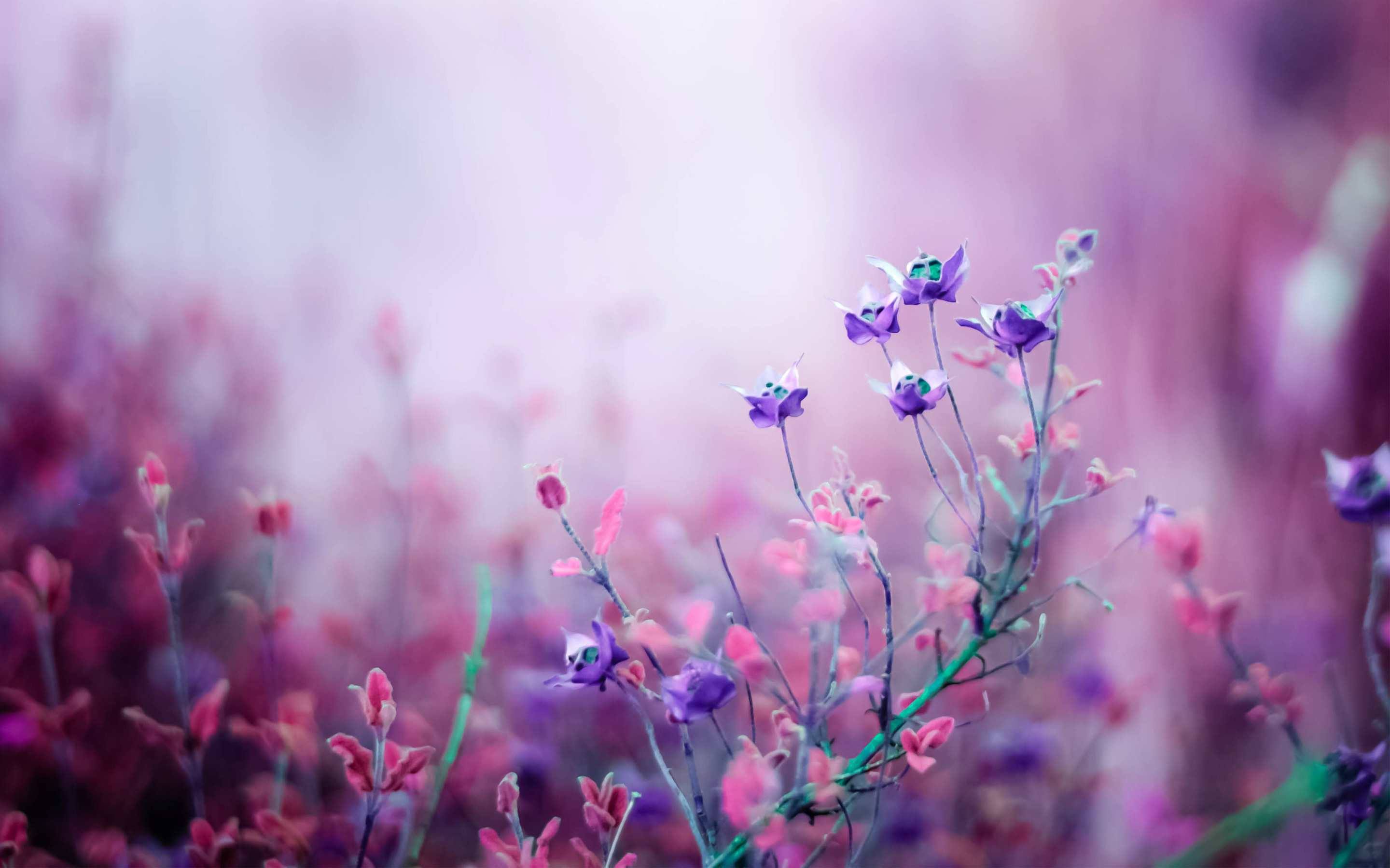 A Field Of Purple Flowers In The Mist