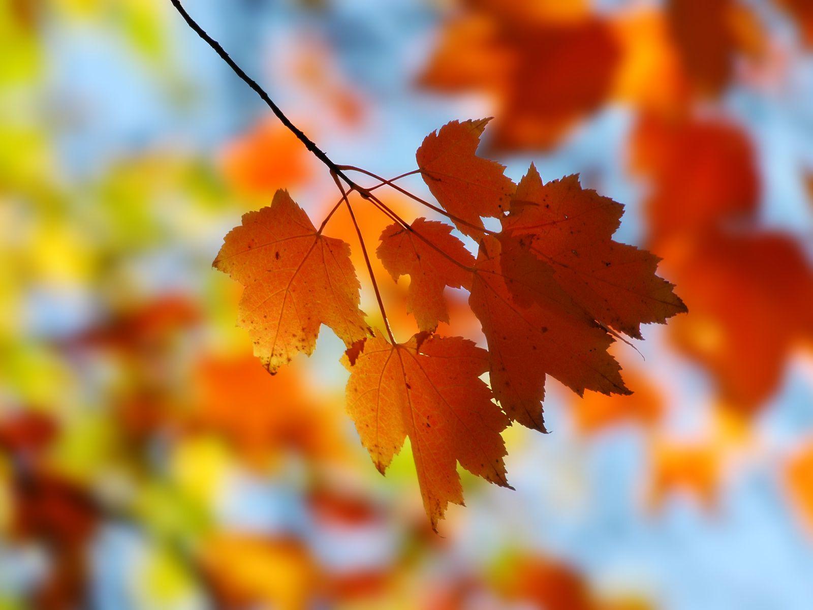 Free autumn wallpaper featuring closeup of reddish-orange maple leaves