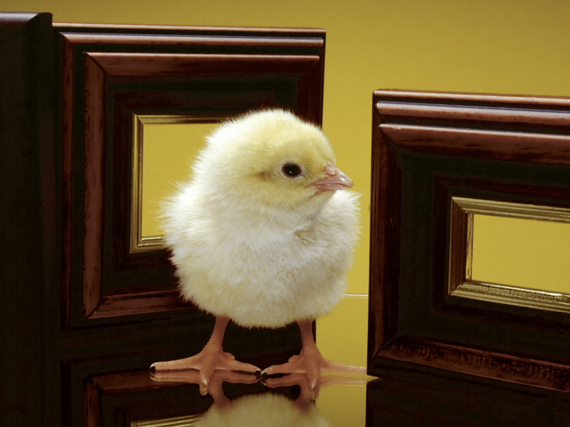 Free Easter wallpaper featuring a little chick