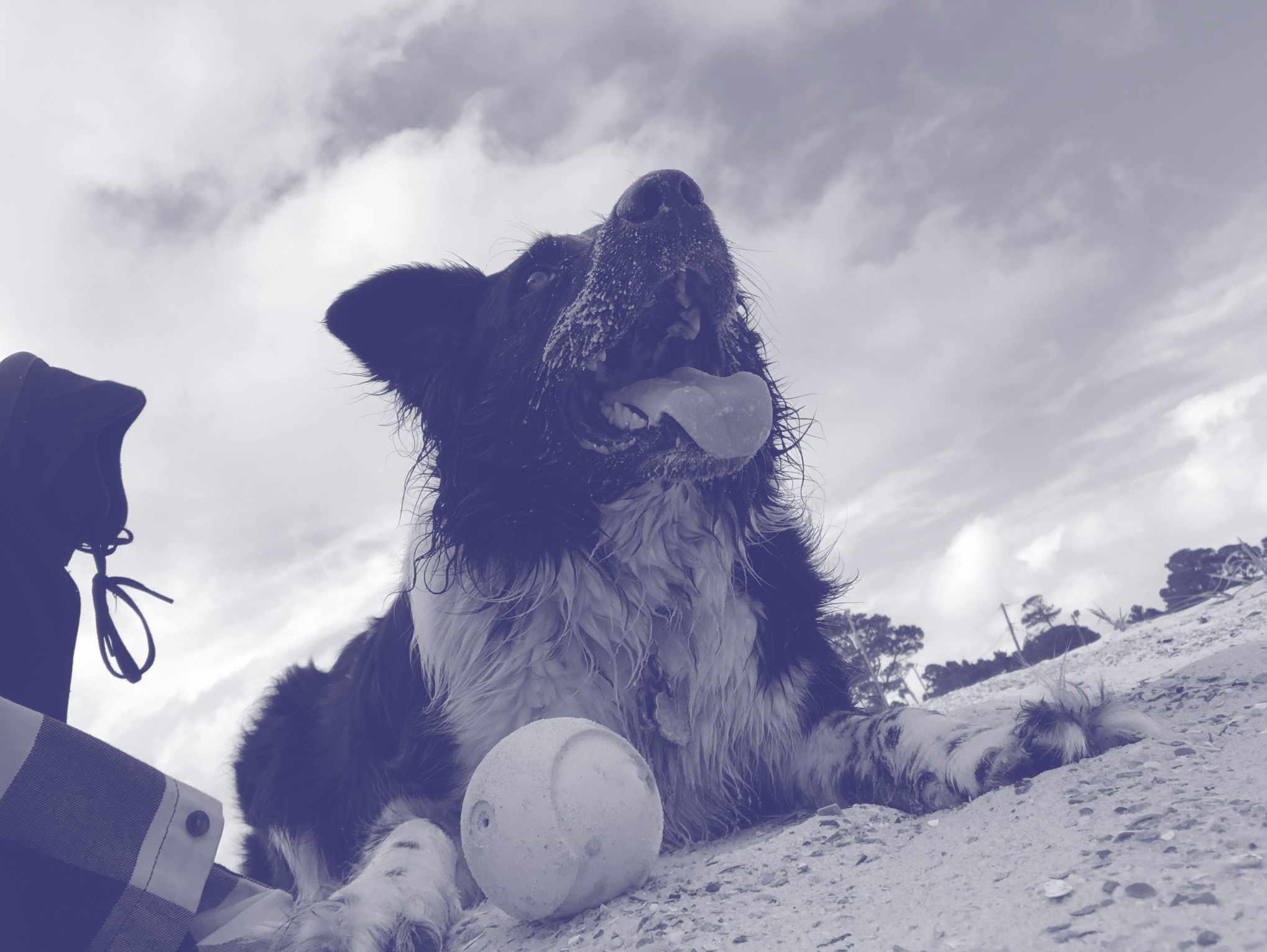 A monochrome image of an Australian Shepherd on the beach.