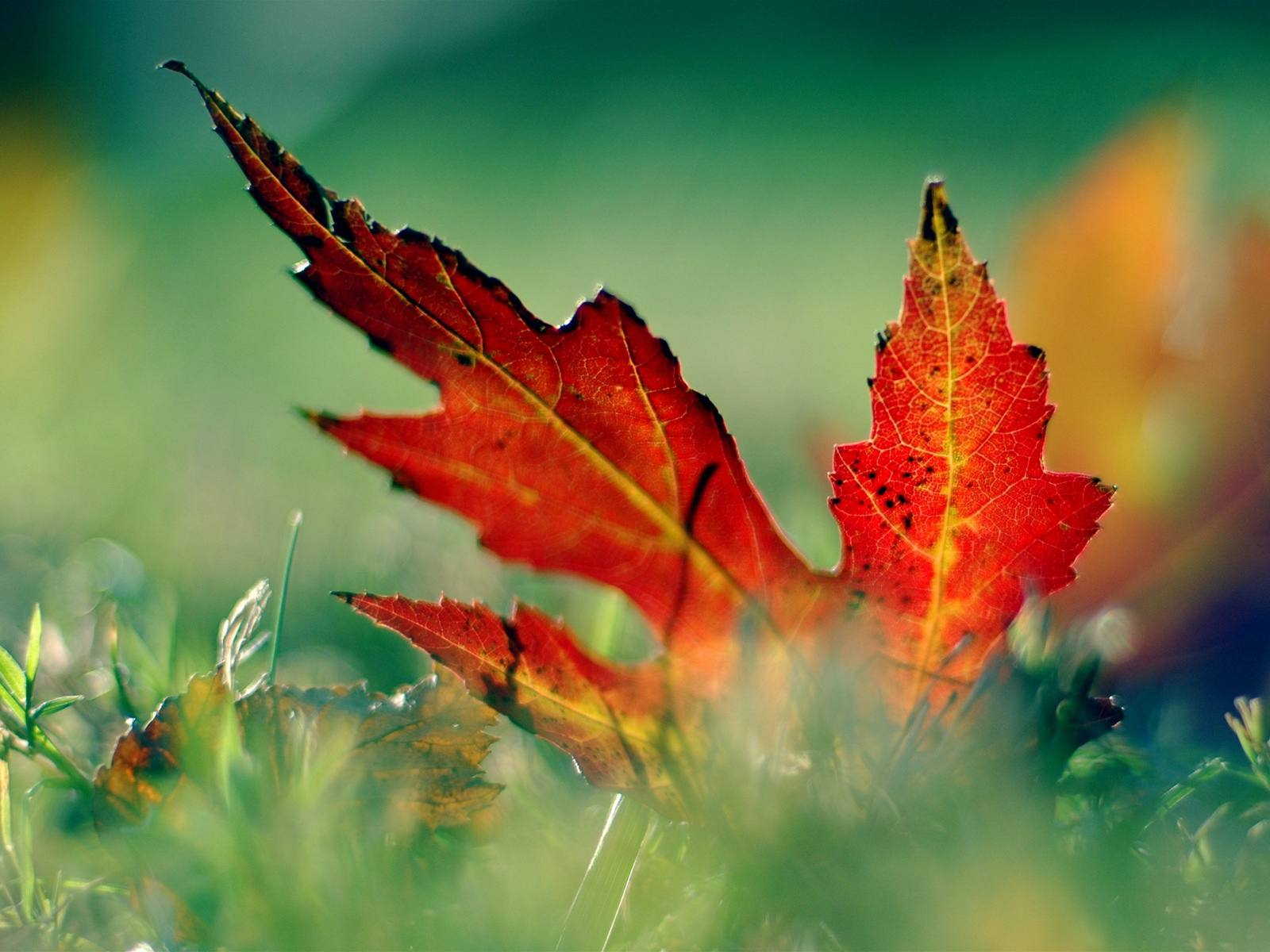 Free autumn wallpaper featuring a red leaf in the grass.
