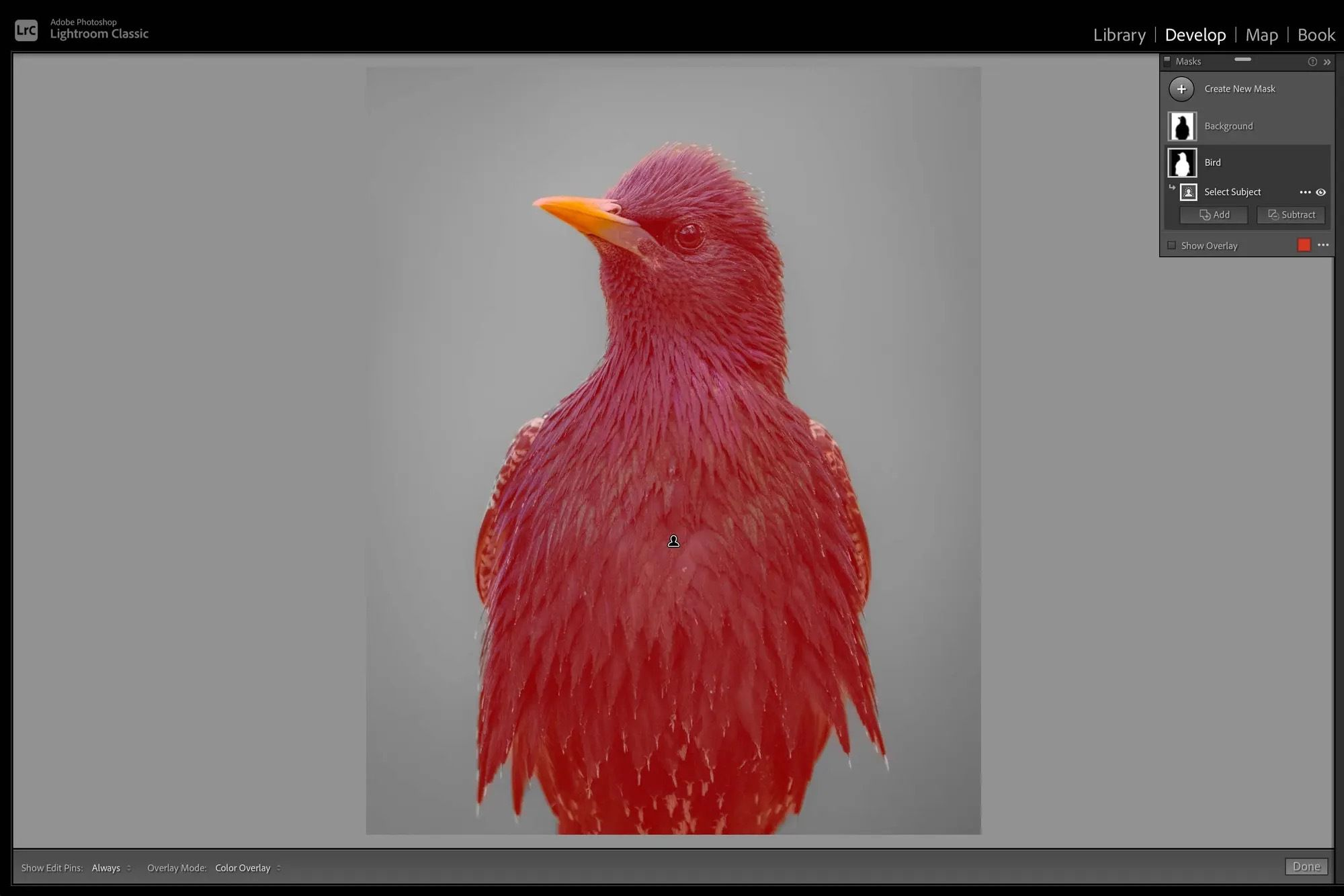 Using Lightroom to add a red overlay on top on an image of a bird