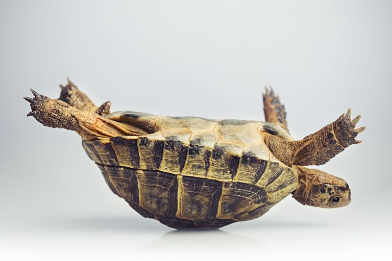 A tortoise on its back.