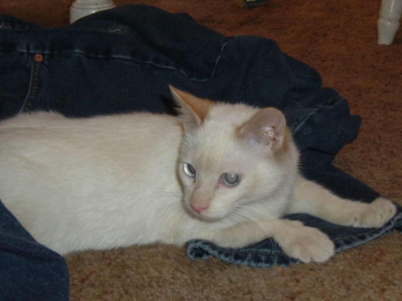 A white cat lays on a pair of blue jeans.