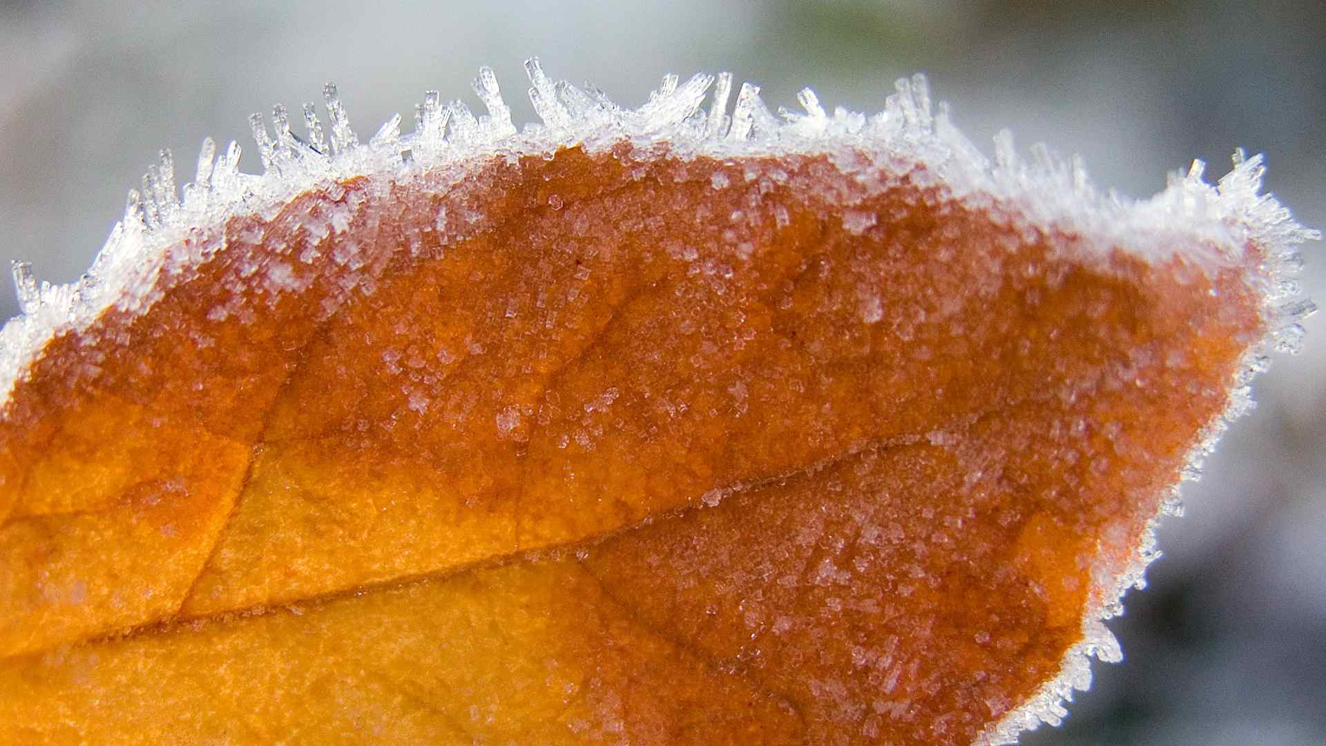 Free autumn wallpaper featuring a frosted orange leaf.