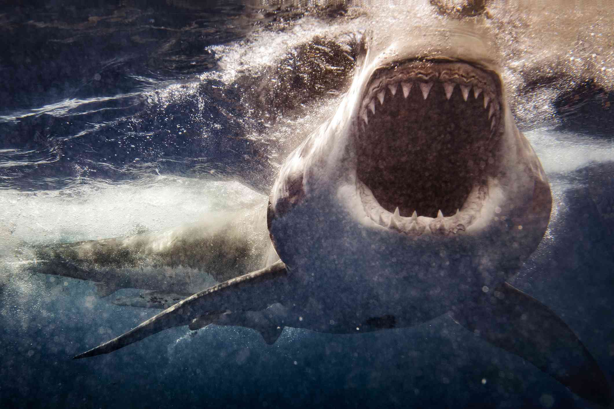 Extreme closeup of a great white shark attacking.