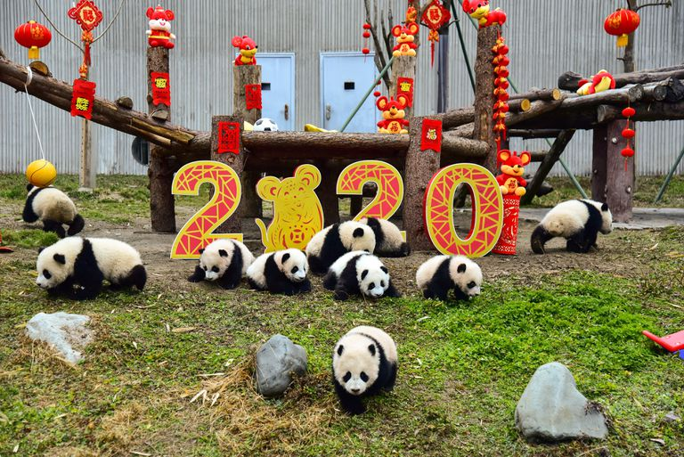 Chinese New Year 2020 Year of the Rat decorations surrounded by baby pandas