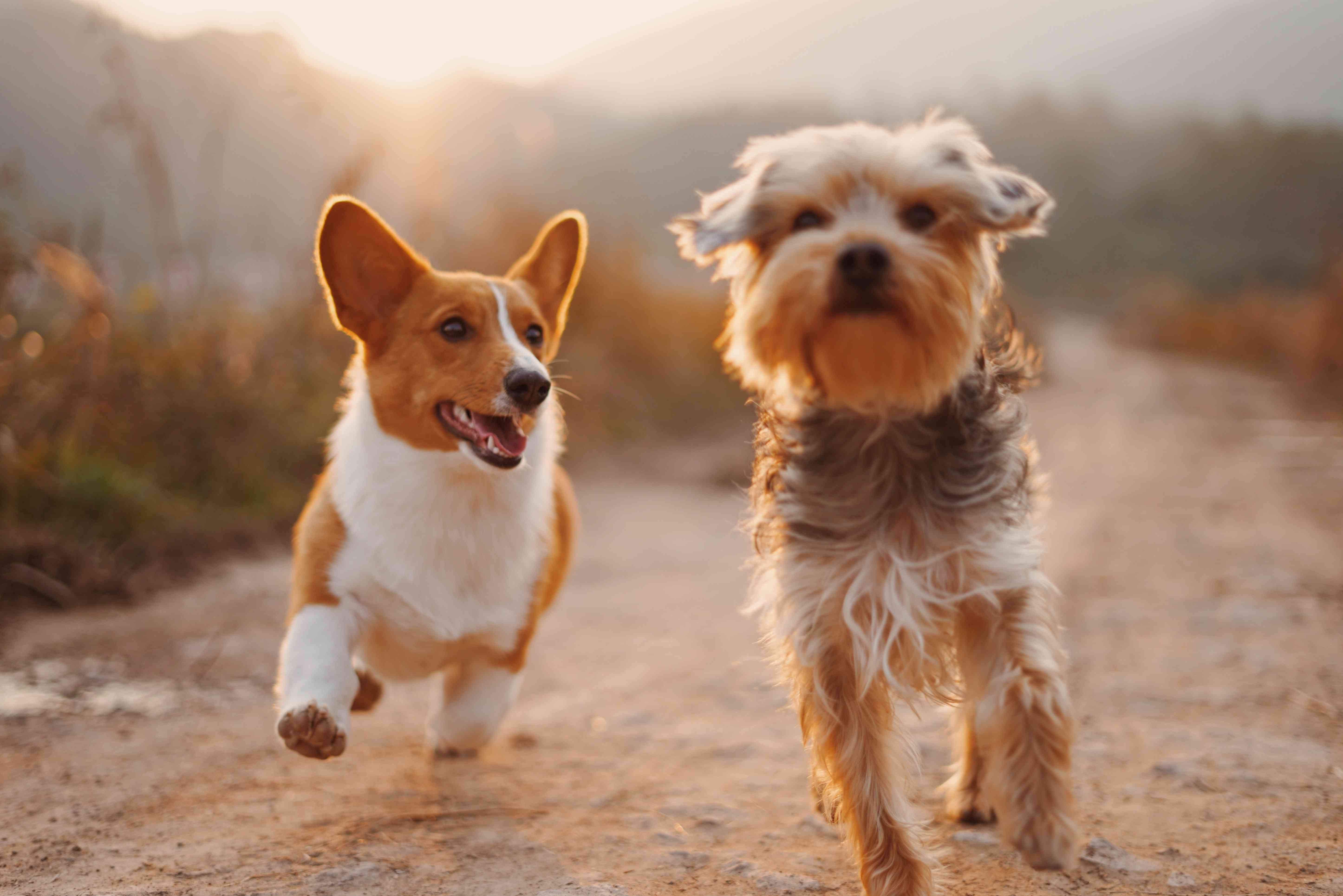 Two small dogs running together on a dirt road.