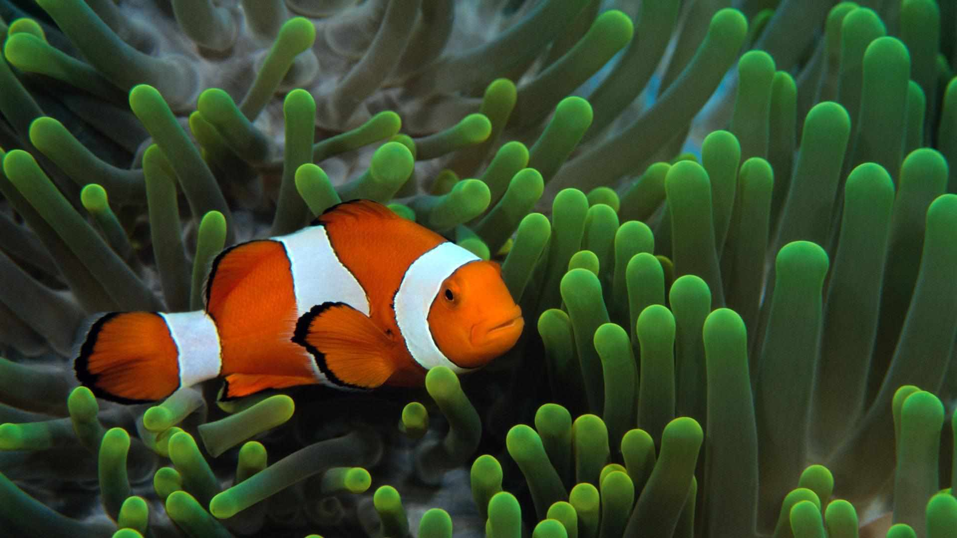 Free ocean wallpaper featuring a clownfish in anenome