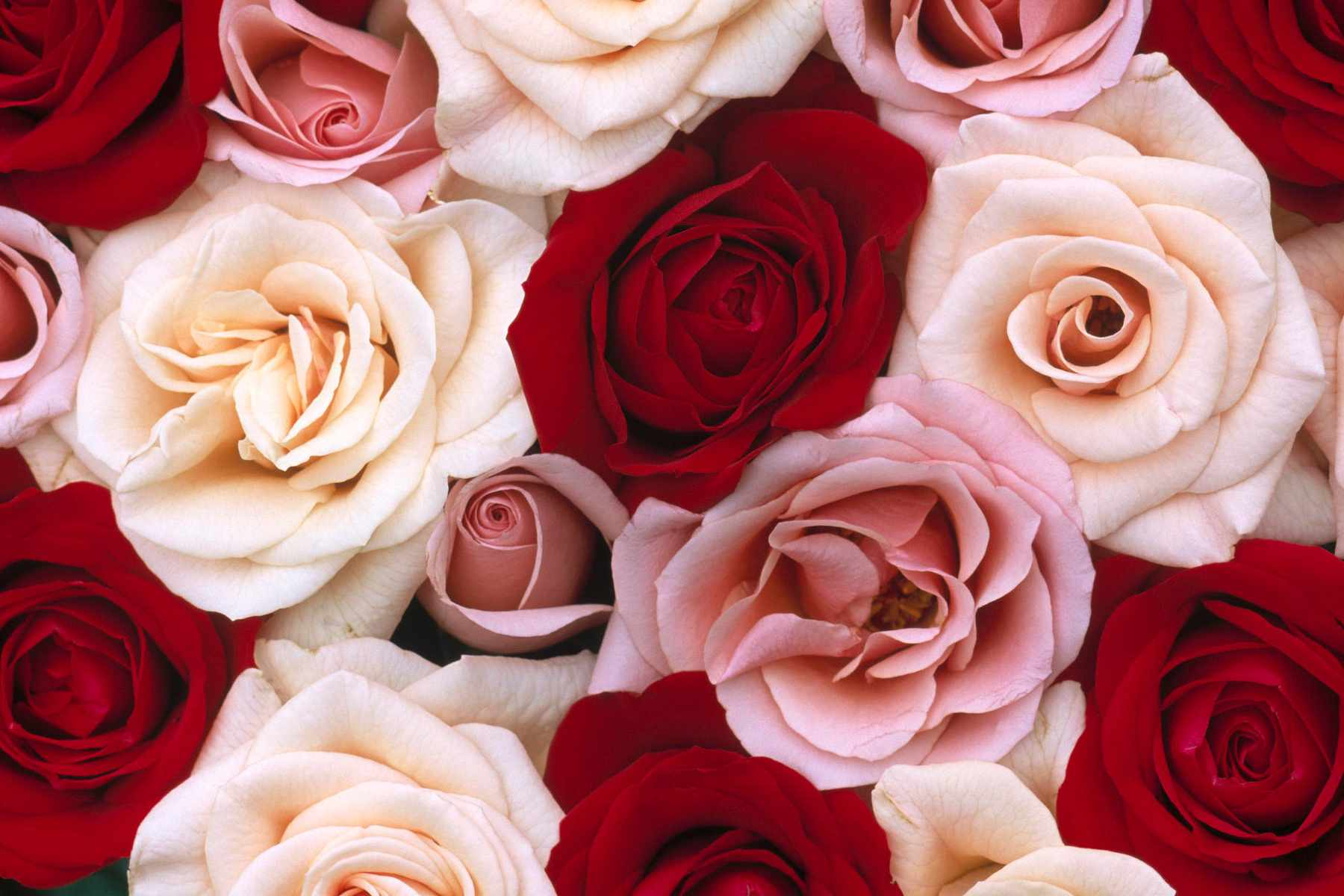 16 Best Free Online Rose Wallpapers