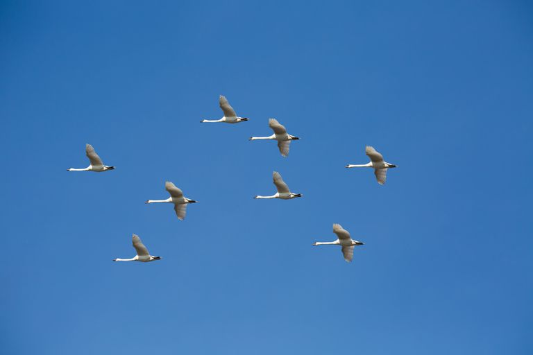 8 swans flying in the sky