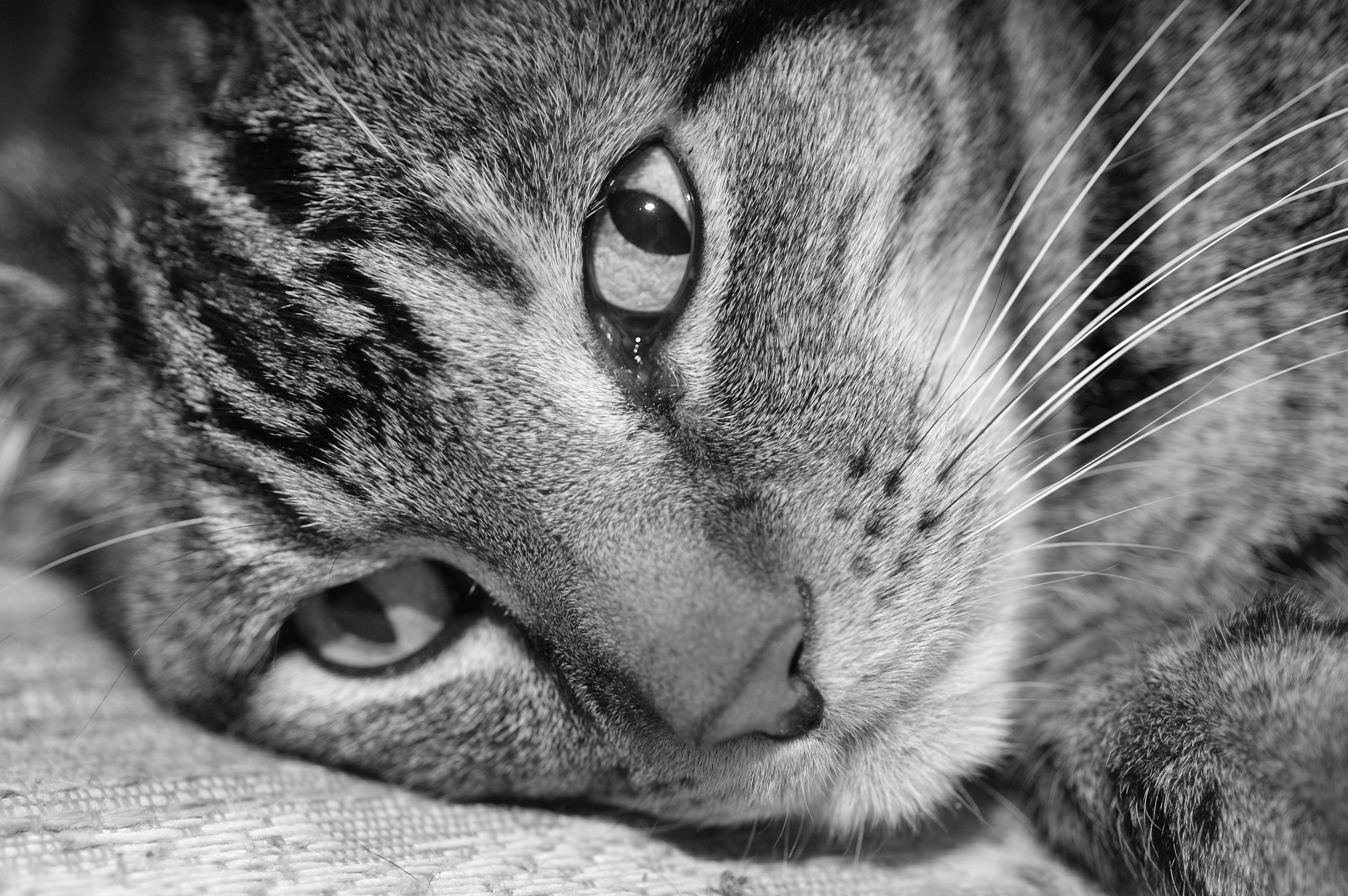A black and white image of a tabby cat