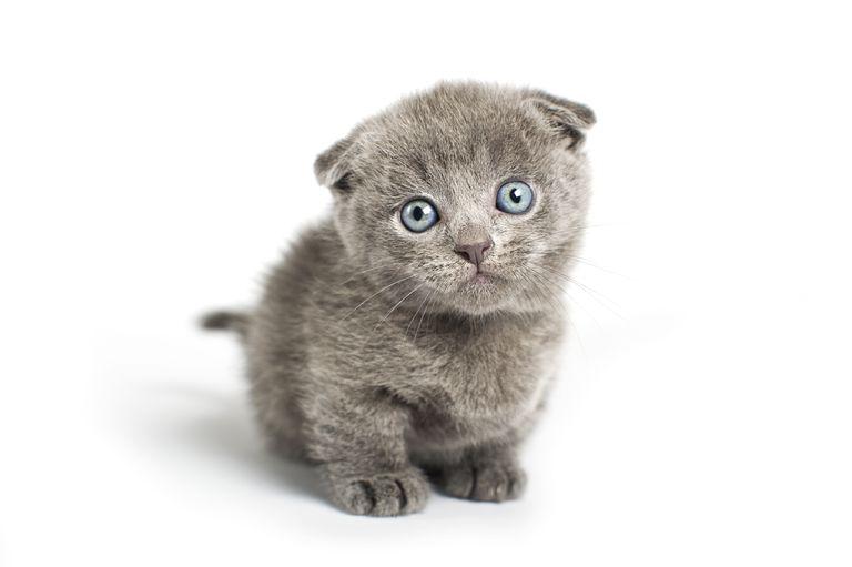 Grey lop-eared kitten