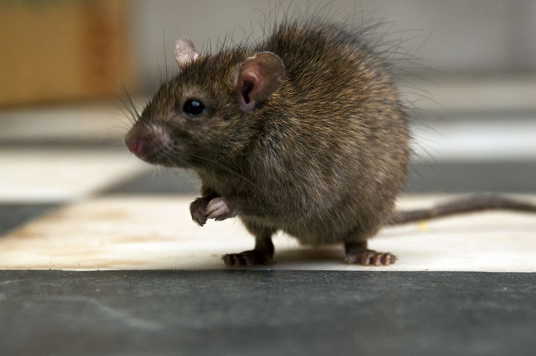 Rat standing on hind feet on black and white floor