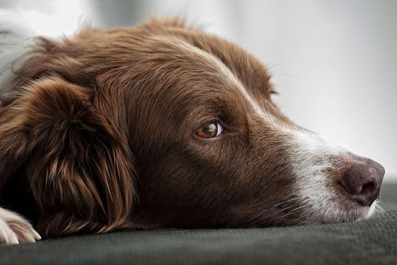Border Collie lying on sofa, portrait
