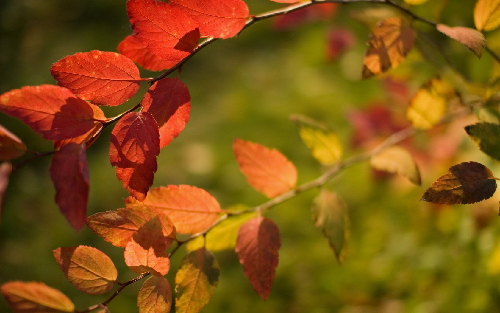 Free autumn wallpaper featuring a closeup of red and orange leafs on a branch.