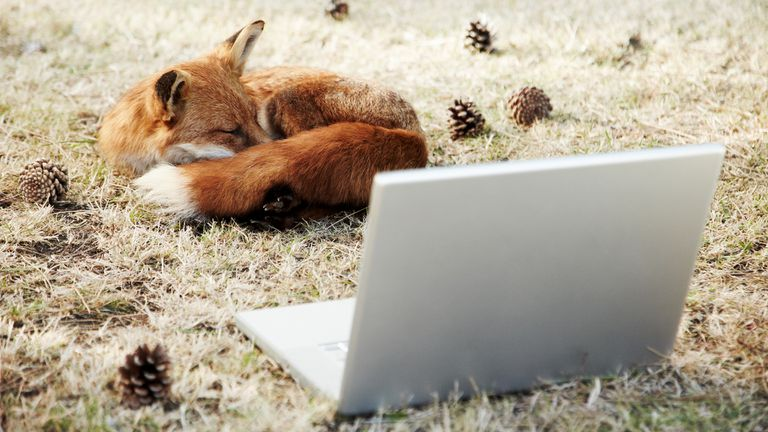 A sleeping fox in front of a computer running Mozilla Firefox