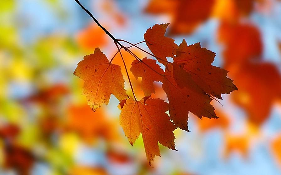 Picture of red, yellow, and green maple leaves. Free Fall Wallpaper.