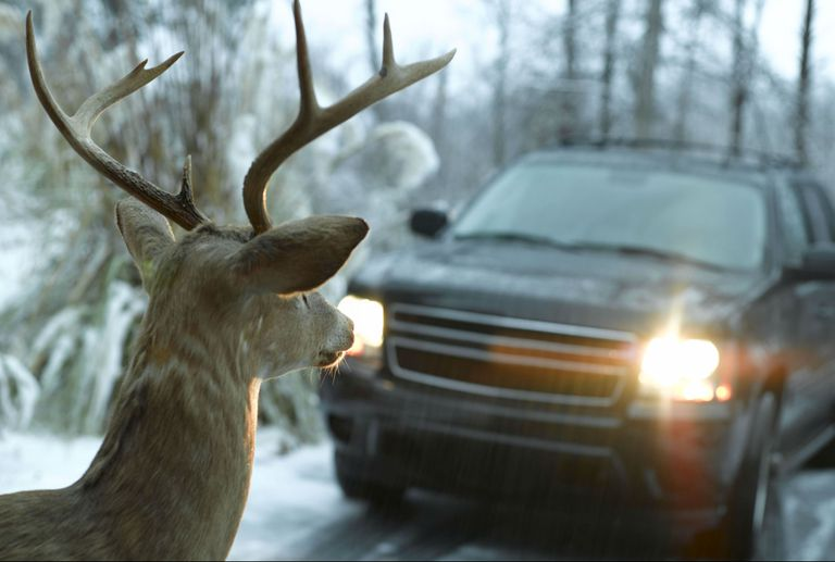 Deer caught in the headlights of an SUV despite deer whistles.