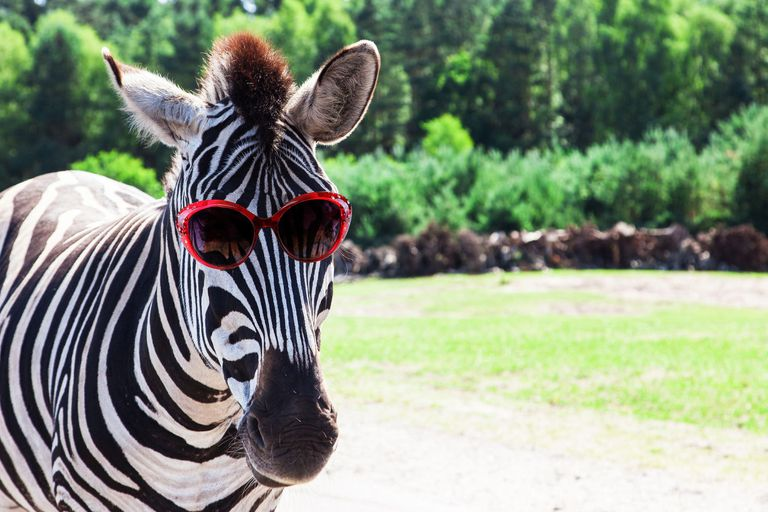 Zebra wearing sunglasses