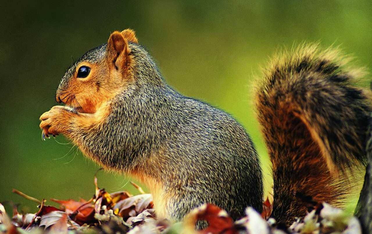 Free autumn wallpaper featuring an up-close shot of a squirrel in leaves.