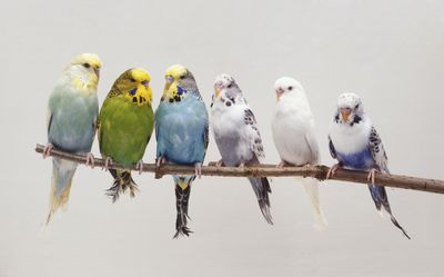 Multiple different-colored birds perched side by side on a twig
