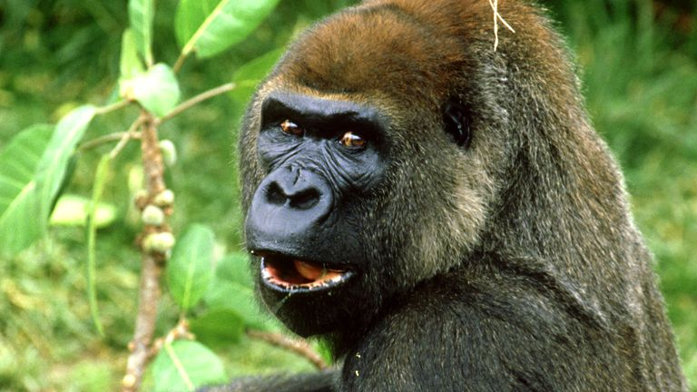 A surprised gorilla