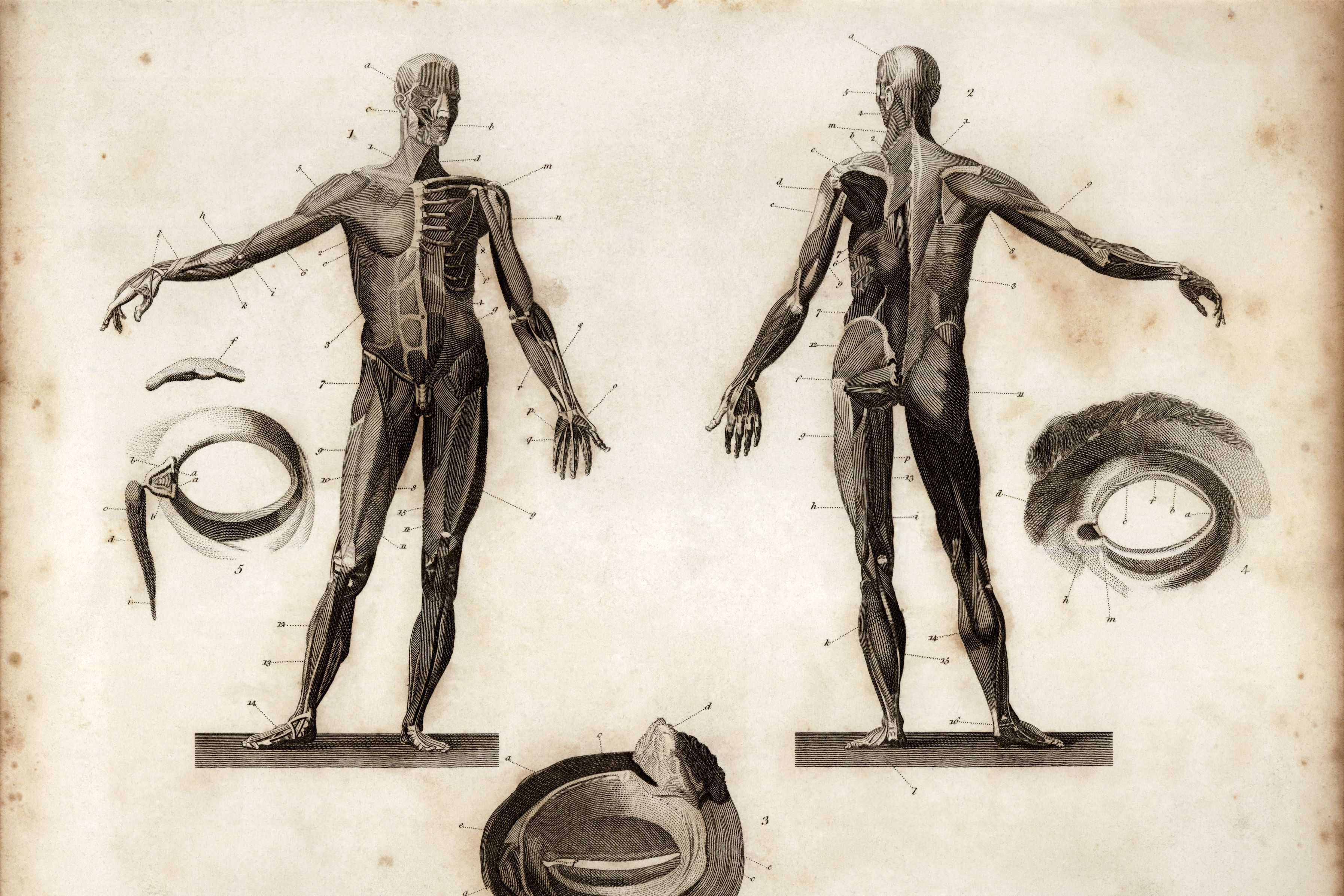 Engraving depicting frontal and posterior anatomy of a human