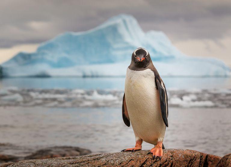 A Penguin in Antarctica