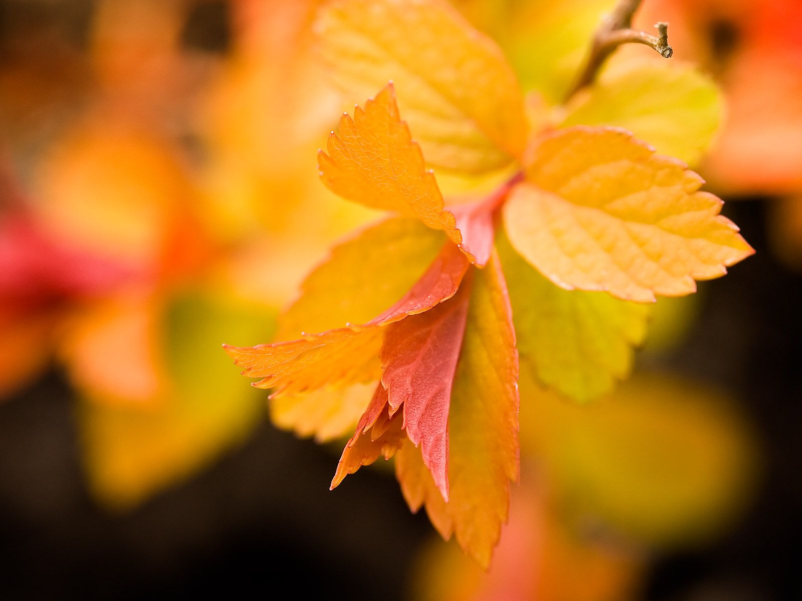 Free autumn wallpaper featuring a branch full of yellow, orange, and red leaves.