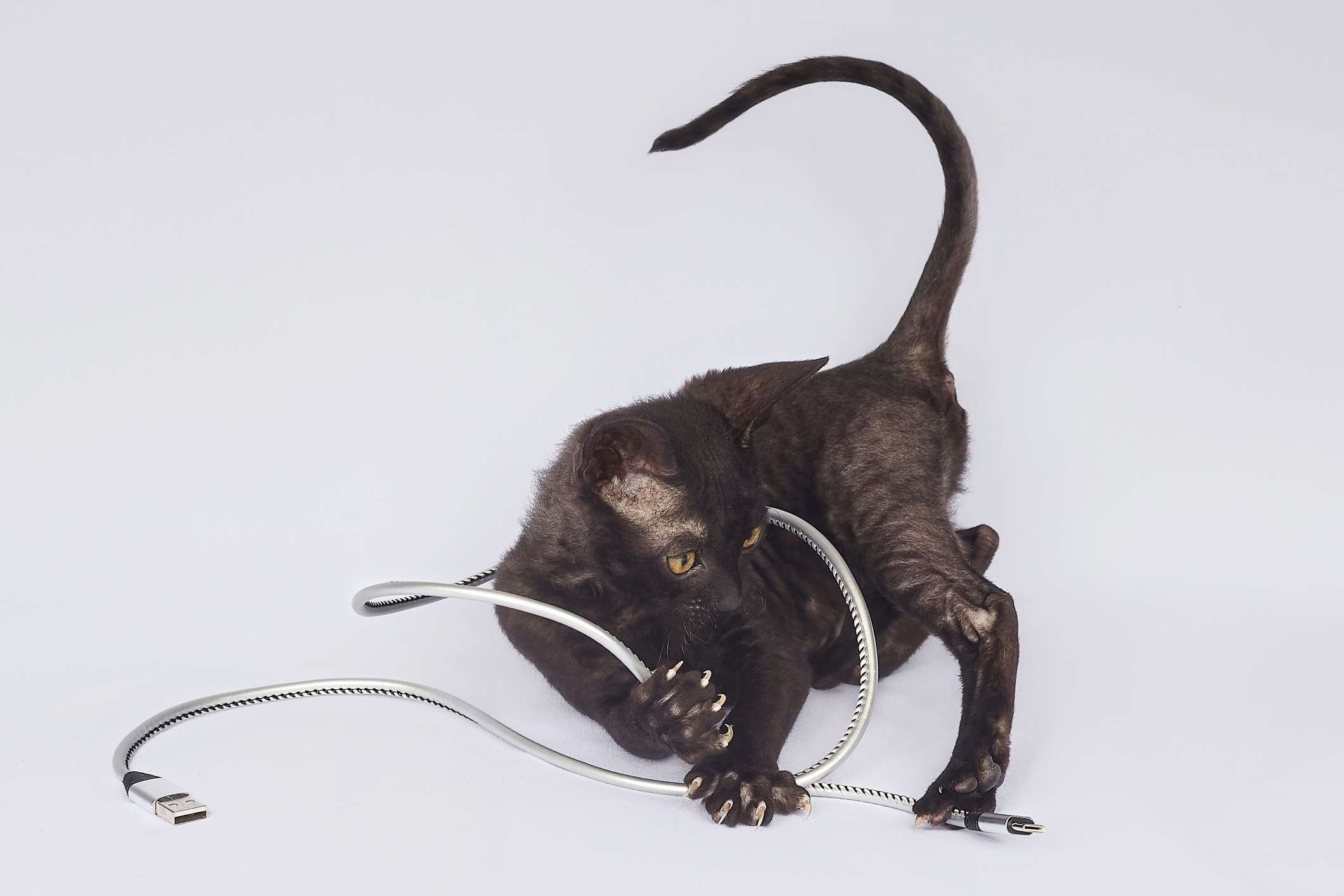 Black, Cornish Rex kitten playing with a USB-C cable.